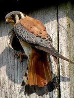 American Kestrel © Mark Thorn