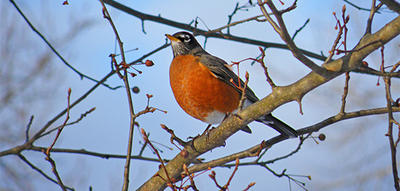 American Robin on branch in late autumn (by Joy Marzolf)