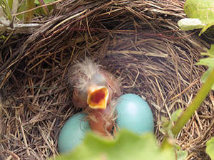 Baby bird with eggs in nest © Wendy Barrett, Mass Audubon