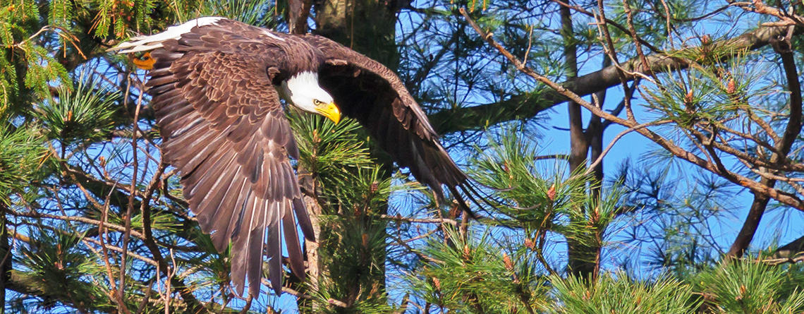 Mature Bald Eagle starting its dive from a conifer tree © William Zhen