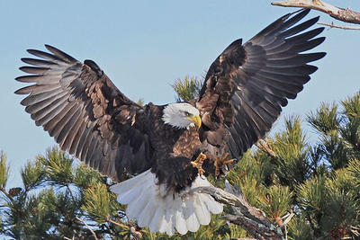 Bald Eagle © Joseph Cavanaugh
