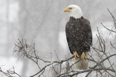 Bald Eagle on a branch during a snow storm © Kyle Wilmarth