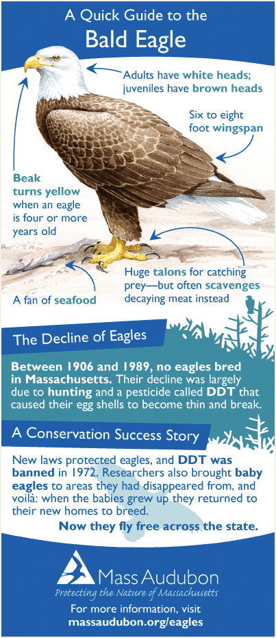 Bald Eagle Quick Guide