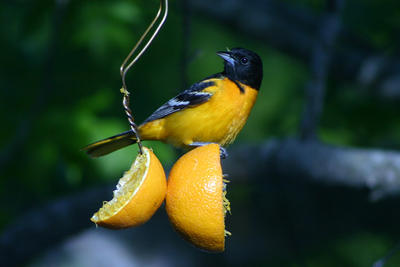 Baltimore Oriole male eating oranges at feeder © Bonnie Bowes