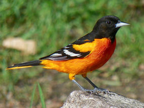 Baltimore Oriole male on ground © Kimberly King