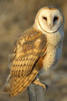 Barn owl © Paul Higgins