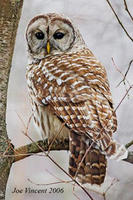 Barred owl © Joe Vincent
