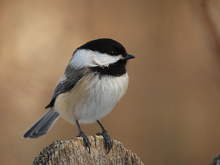 black-capped chickadee © Jake LeSuer
