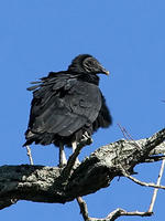 Black Vulture © Phil Brown