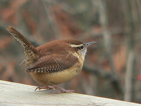 Carolina wren © Ken Thomas