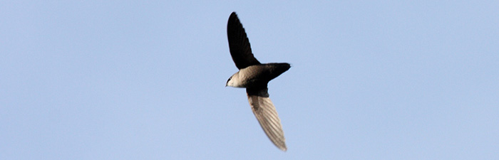 chimney swift © Dominic Sherony