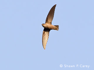 chimney swift © Shawn P. Carey, Migration Productions