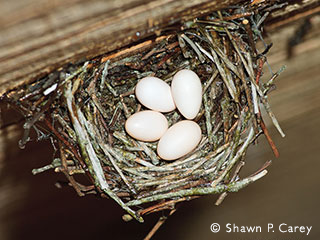 chimney swift nest © Shawn P. Carey, Migration Productions