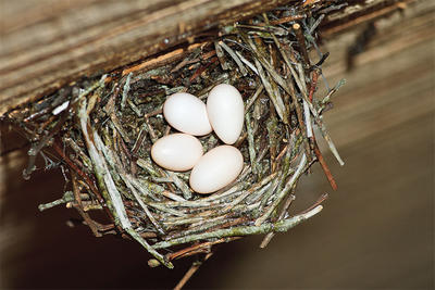 Chimney Swift nest & eggs © Shawn P. Carey, Migration Productions
