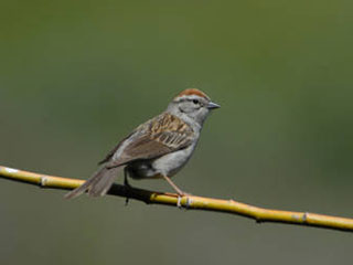 chipping sparrow © Dave Menke, USFWS