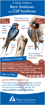 Cliff swallow quick guide