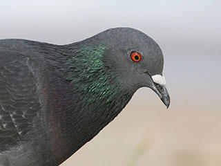 common pigeon © Tomfriedel, wikimedia commons