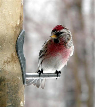 Common Redpoll at feeder