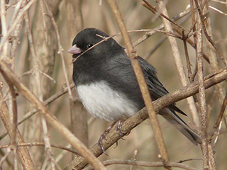 Dark-eyed Junco © Rene Laubach