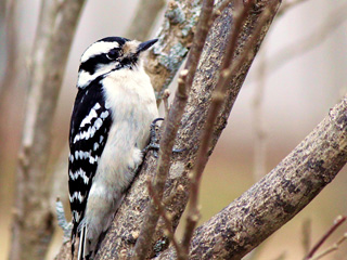 downy woodpecker © Donald Perkins
