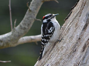 downy woodpecker © Jean-Marie Cataldo