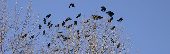 flock of crows © Marj Rines, Mass Audubon