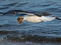 great black-backed gull © Dorrie Holmes