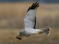 Northern Harrier © Jack Kerivan