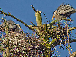 heron rookery © Ronald Reynolds