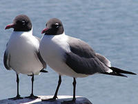 laughing gulls © Richard Johnson