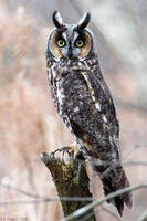 Long-eared owl © Joe Vincent