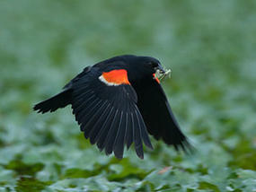 male red-winged blackbird © Andrew Liu