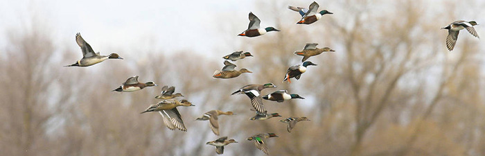 Mixed ducks and geese in flight © Mike Peters, USFWS