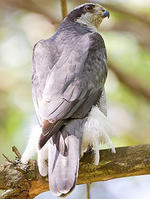 Northern Goshawk © Phil Brown