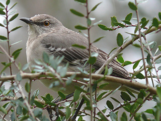 northern mockingbird © Ken Thomas