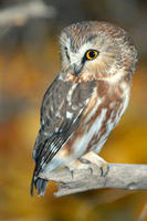 Northern Saw-whet owl © Paul Higgins