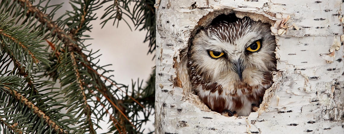 Northern Saw-whet Owl looking out of its tree cavity in winter