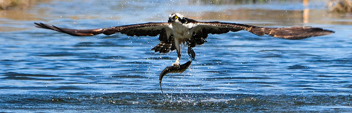 Osprey catching a fish © Mike Snow