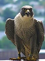 Peregrine Falcon © Richard Johnson