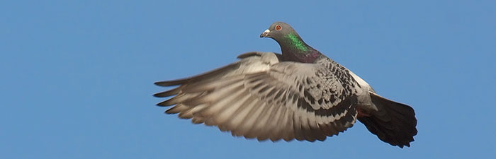 pigeon in flight © Stefan Berndtsson, flickr