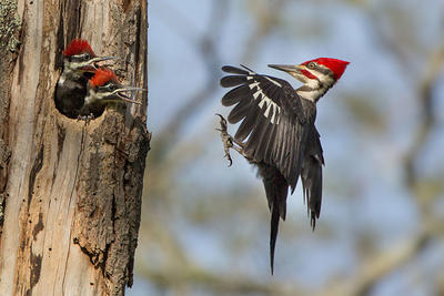 Pileated Woodpecker feeding chicks © Linda Cullivan