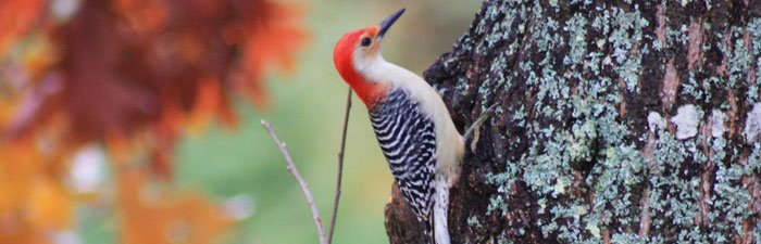 Red-bellied woodpecker © Gerry Farquharson