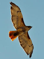 Red-Tailed Hawk in flight by Heather Cooper
