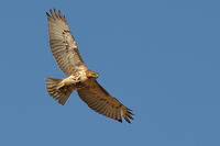 Red-tailed Hawk in flight view from front © Jeff Martineau