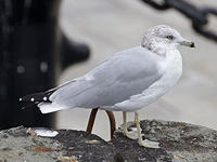 ring-billed gull © Tony Hisgett, wikicommons