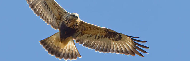 Rough-legged hawk © Phil Brown