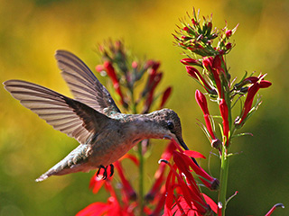 ruby throated hummingbird © David Larson, Mass Audubon