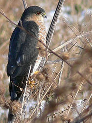 Sharp-shinned hawk © Richard Johnson