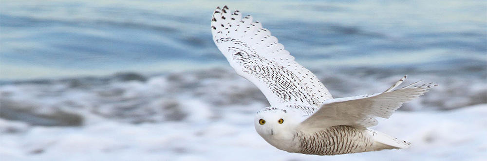 Snowy Owl in flight over a beach (photo: Dave Larson)