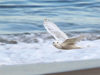 Snowy Owl in flight over a beach by Dave Larson